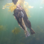 Spearfishing Alaska