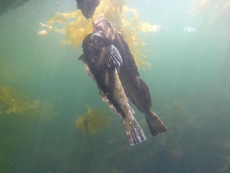 Spearfishing Alaska