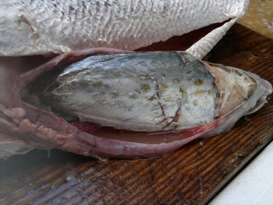 Spanish Mack in Barracuda stomach