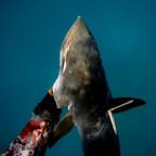 Mackerel fish grip